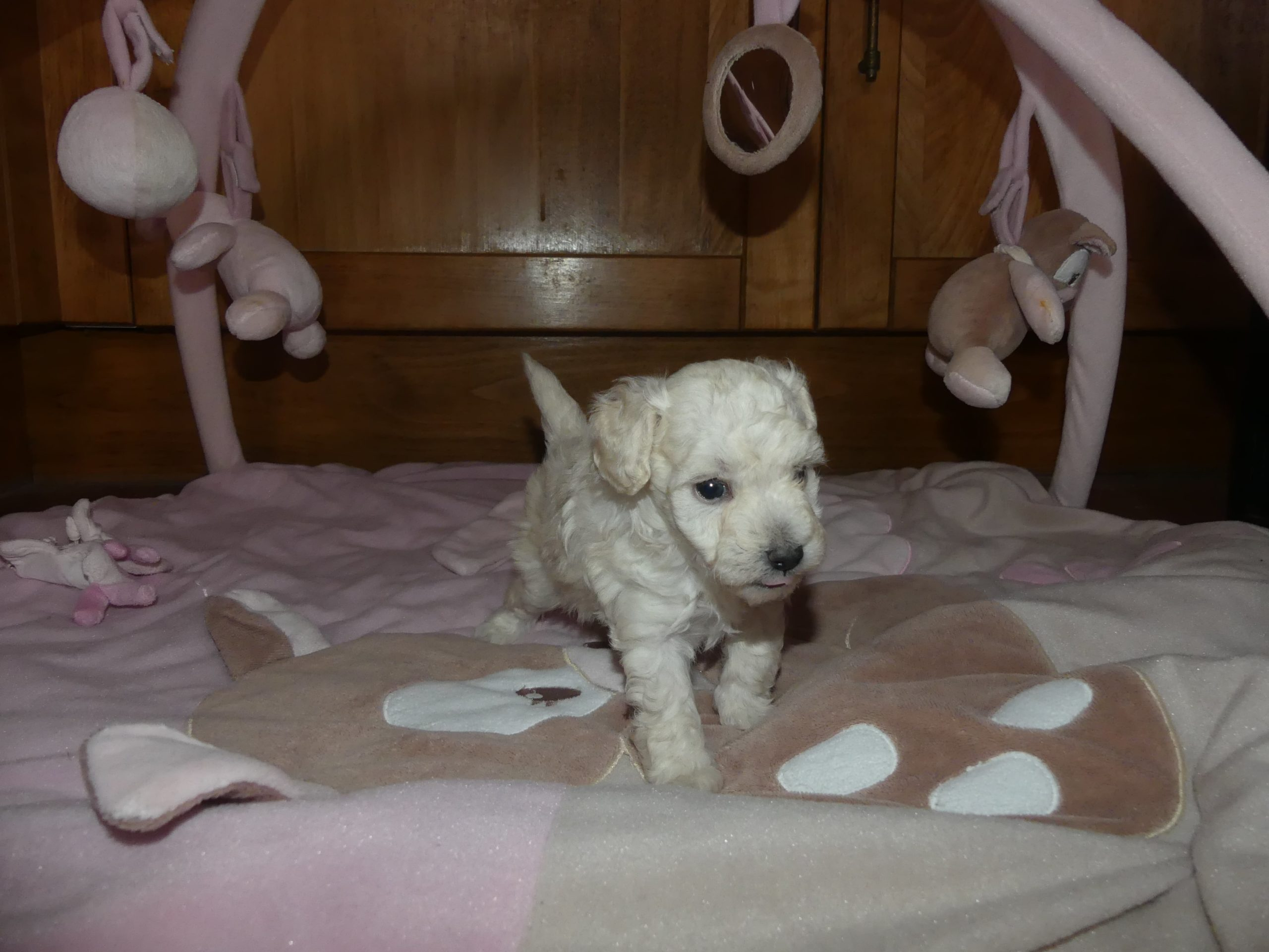 chiot caniche toy blanc