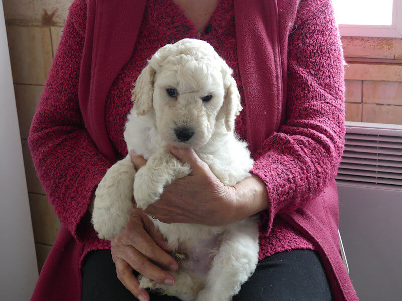 chiots grands caniches blancs